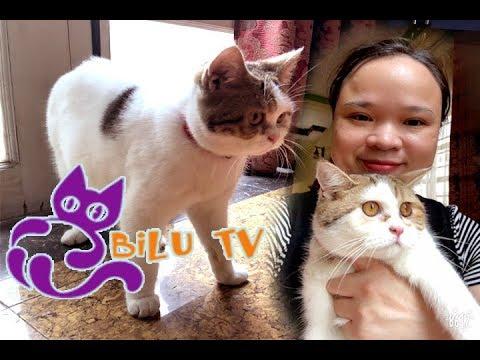 Giới thiệu kênh Bilu TV|Những chú mèo anh lông ngắn đáng yêu
