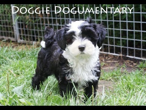Doggie Dogumentary (Dog Breeding licence Documentary amended/revisited)
