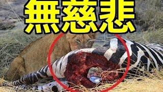 【閲覧注意】ライオンの捕食が残酷!VSシマウマVSバッファロー!心臓が...
