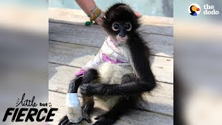 Brave Baby Monkey Loves Every Minute Of Her New Life | The Dodo Little But Fierce