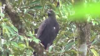 Elang Hitam Ictinaetus malayensis