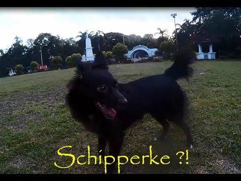 Schipperke mix dog at the park