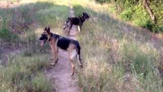 German Shepherd And Wolf Hybrid