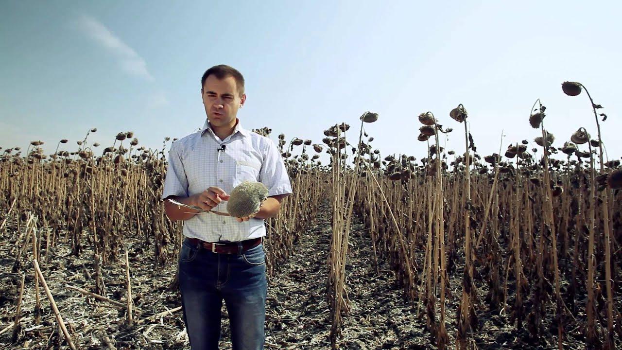 Итоги уборки подсолнуха Syngenta NK NEOMA - YouTube