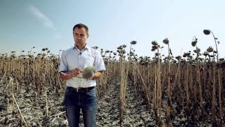 Гибриды подсолнечника: из года в год стабильный урожай!