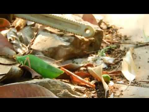 Green Grasshopper Vs Large Red Ants - DariyaTube