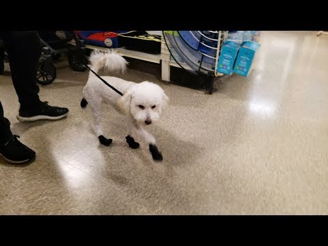 Funny Walking Dog In Shoes - Bichon Poodle Trying On New Boots