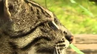 Уникальная порода кошек для