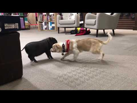 Sunny the Blind Puppy Plays with Piglet