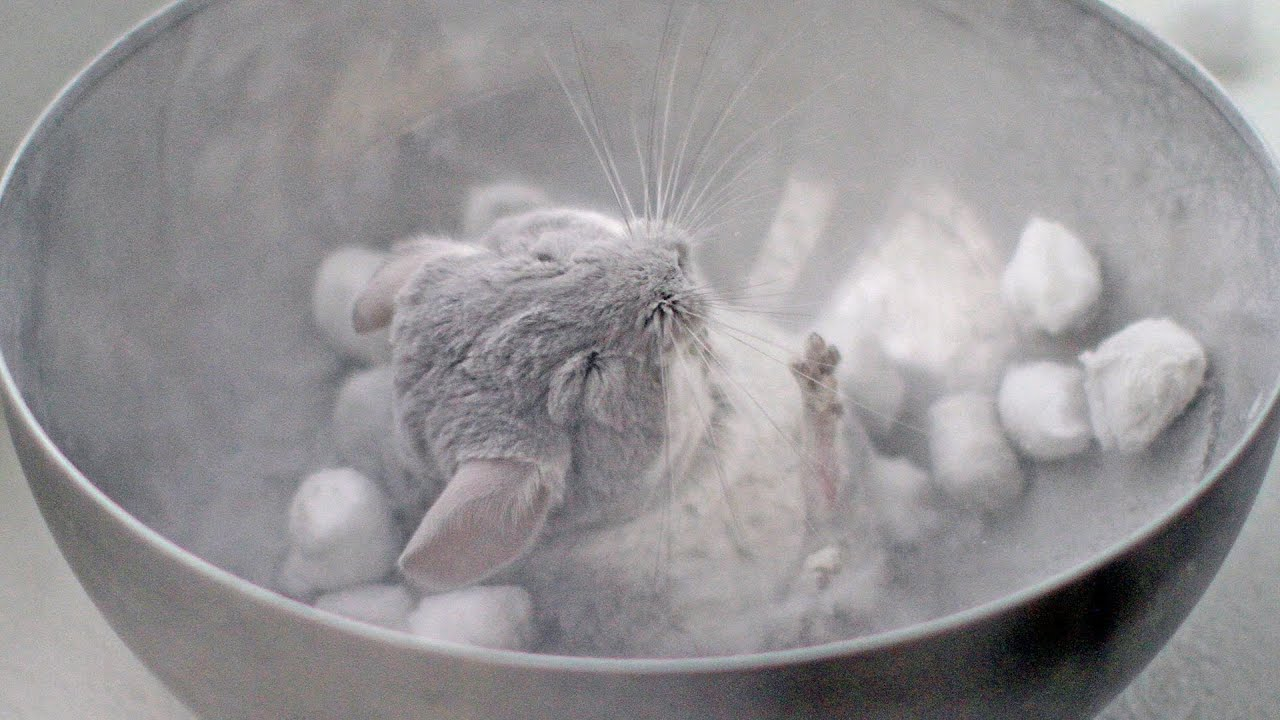 exfoliating chinchilla dust bath youtube