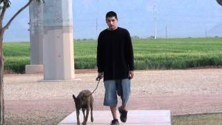 Dog Training - Belgian Malinois - On Leash Obedience - Cherry