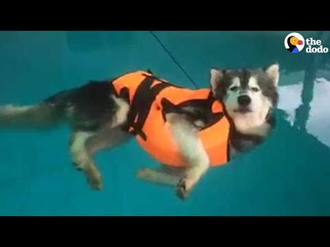 Husky Floats In Pool