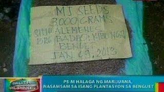 BP: P5-M halaga ng marijuana, nasamsam sa isang plantasyon sa Benguet