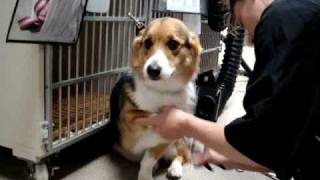 Corgi Getting Groomed