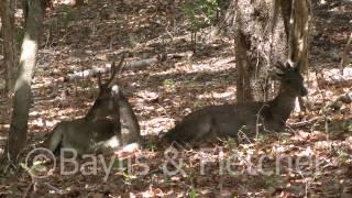 Timor Deer, Rinca, Indonesia. 20130925_105349.m2ts