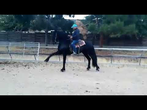 2 year old Friesian  stallion  starting his high school career
