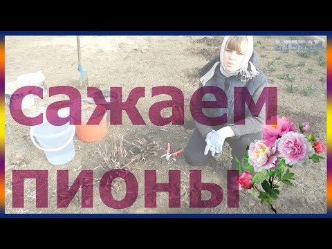 Сажаем пион правильно Как выращивать и размножать пионы огород сад розарий цветник