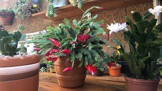 Dicas de Como Cultivar a Flor de Maio