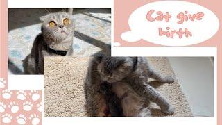 ولادة قطتي كاملة      Cat Giving Birth to 3 kittens