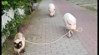 Pigs walking a cat