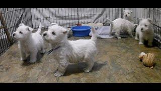 West Highland White Terrier Krya's Puppies Are 6 Weeks Old