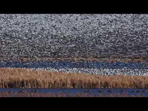 Squaw Creek Wildlife Refuge - Fall 2016 Migration