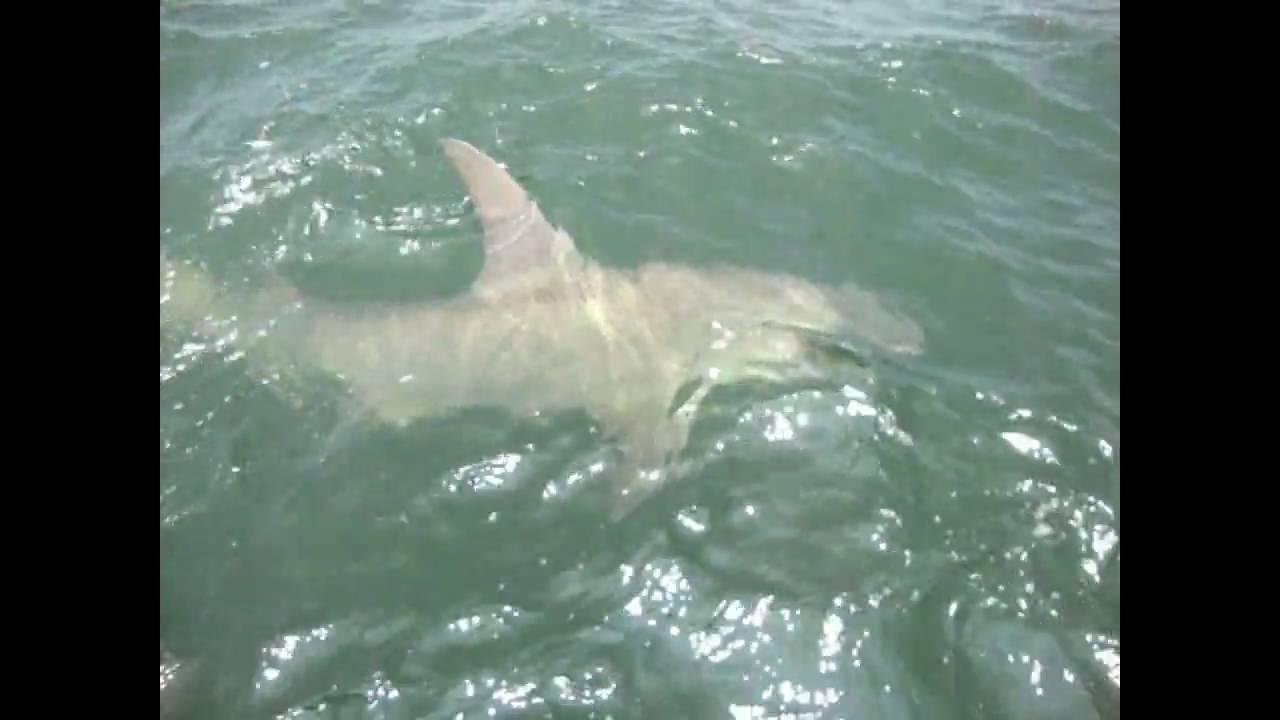 Big hammerhead shark hilton head sc outcast sport for Outcast sport fishing