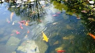 Рыбы в домашнем  пруду. Пара советов