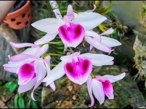 Vài phút ngắm giò lan rừng Phi Điệp (Dã Hạc) Kon Tum nở hoa bói, đẹp lung linh | Orchid videó letöltés