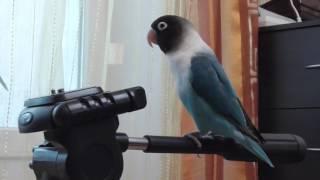 Масковый неразлучник Стич/Masked lovebird Stitch