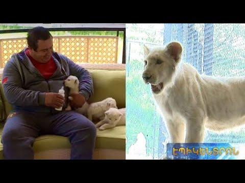 Գ.Ծառուկյանը եզակի ցեղատեսակի Սիմբա սպիտակ առյուծին նվիրեց Կենդաբանական այգուն