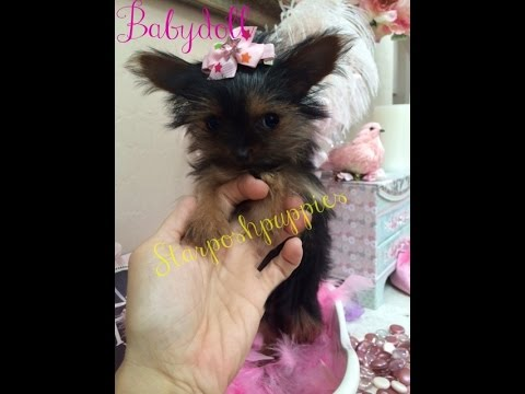 Tiny Micro Teacup Yorkie Puppy For Sale Youtube