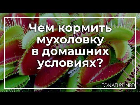 Венерина мухоловка уход в домашних условиях как кормить