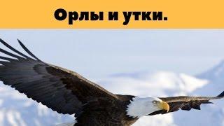 Притча 'Орлы и Утки'   Бодо Шефер