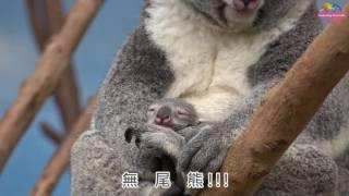 無尾熊寶寶吃盲腸便-出育兒袋僅一步之遙