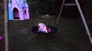 Bulldog On Swing