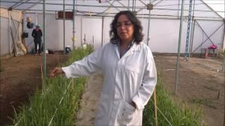 fusarium graminearum en cebada