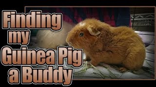 Finding My Guinea Pig a Buddy
