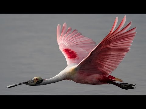 Nikon D850 W Grip Roseate Spoonbill Bird in Flight Performance 200-500 - Bird Photography Insanity