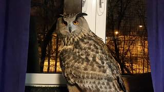 An Eagle-owl goes to get tea and comes back, dealing with Little owls along the way