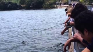Big Catfish or Seng Heurr 鲶鱼 caught ...