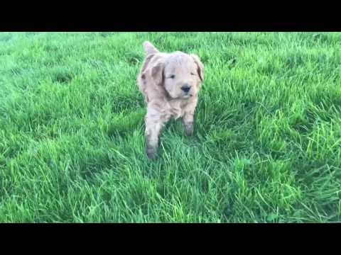 PuppyFinder.com : Goldendoodle mom with pups