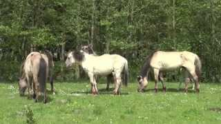 Konik stallion interferes the attempt of mating of his son with a sub adult