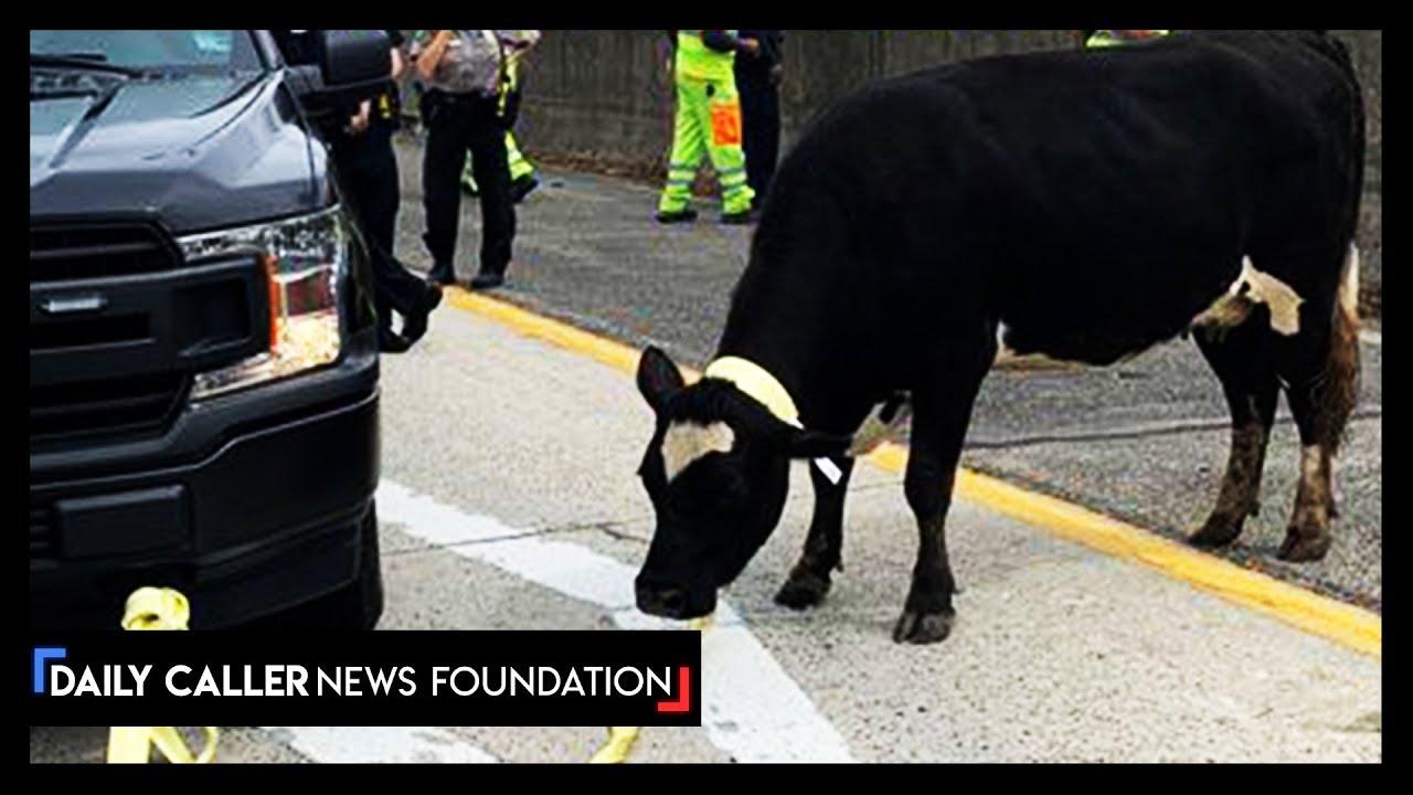 Runaway Cow Stops A Highway