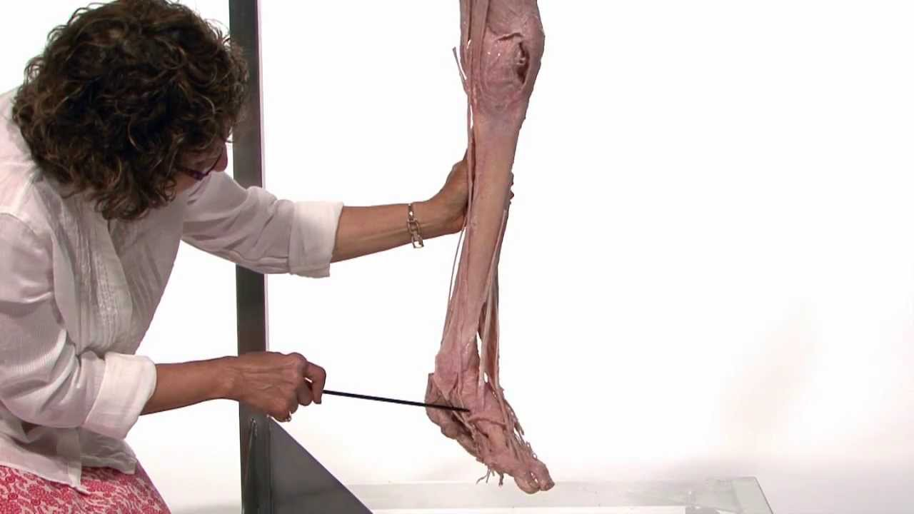 Anatomy Series Muscles Of The Lower Limb By Dr Shakti Chandra