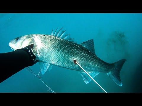 Ψαροντούφεκο για λαβράκια στον Κορινθιακό - Spearfishing Sea Bass in the Gulf of Corinth ✔