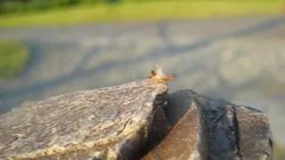 Lesser Earwig Labia minor.wmv
