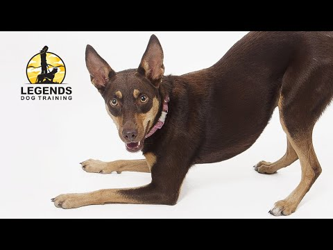 Australian Kelpie Mix: Fundamentals of Behavioral Training
