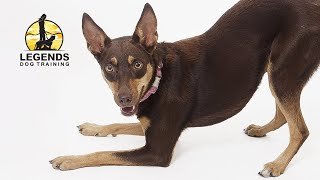 Australian Kelpie: Fundamentals of Behavioral Training