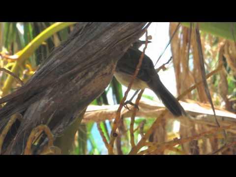 Endangered Hawaiian Bird: The Millerbird